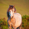 Welsh mountain pony, Hay Bluff, Wales