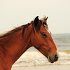 Wild horses of Cumberland Island National Seashore