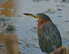 Green Heron blending in with surroundings