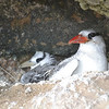 Red-billed Tropicbird Adult and Chick. Photo Credit: Emeray Martha, DCNA