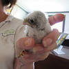 A rescued American Kestrel chick.  Photo Credit: Nathaniel Miller, Dutch Caribbean Nature Alliance