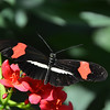 HOT PINK AND BLACK BUTTERFLY