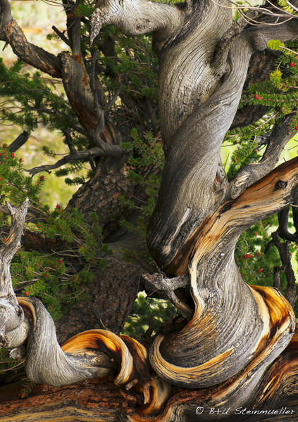Bristlecone Pine (White Mountains)