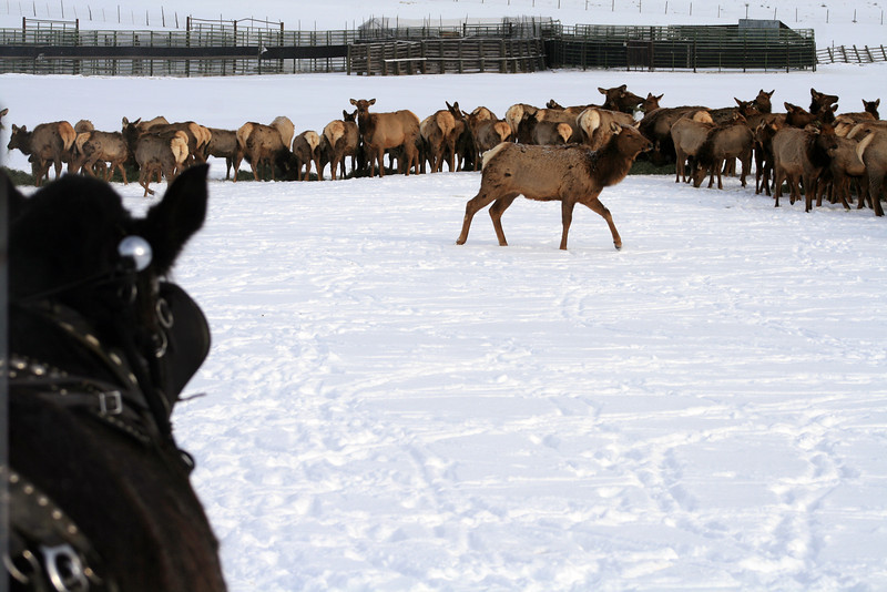 A horse-drawn wagon approaches the wild herd of elk at Hardware Ranch. Photo taken 12-13 by Laura Howell.