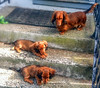 Terraced Dachshunds