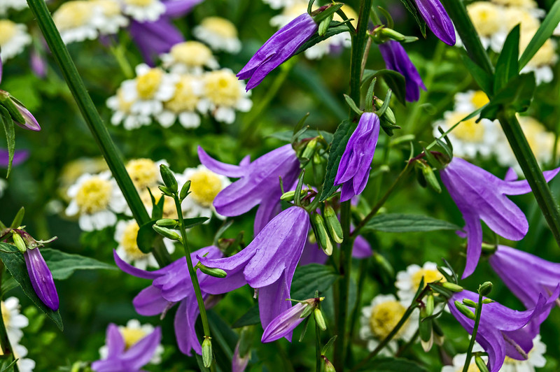 Bellflower and feverfew (tentative ID) in a curbside garden.  DP187-2013  Posted July 6; processed ditto  Geddes Avenue, Ann Arbor Taken July 5, 2013  (Internet connection problems are still forcing me to keep comments briefer than I'd like.  Sorry!)