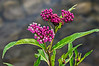 D183-2013  Swamp milkweed, beautiful in bud and blossom.  Asclepias incarnata. Rivaled only by the brilliant orange butterflyweed among Asclepias species, in my mind.  The colors really are this vivid seen live.  DP192-2013  Posted July 11; processed ditto . Kent Lake, Kensington Metropark, Michigan Taken July 2, 2013  Huge thanks to all who took time to look at and comment on yesterday's post of the clouds over Kent Lake.  I'm a bit of a nut about clouds, but that was my first cloud picture posted in the Dailies.  So happy you liked it!