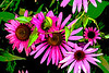 Psychedelic Coneflowers