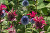 Globe Thistle, Monarda, and a Bee