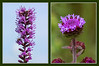 Blazing-Star or Liatris Comparison