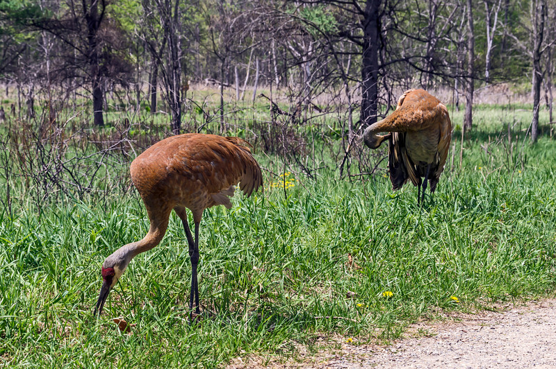 Sandies. A pair of sandhill cranes, one distinctly larger (the one in the rear), but both seemingly adult from their plumage and conformation, so possibly a breeding pair.  Their feathers are very rust-red in color, presumably from preening with iron-rich muds.  DP143-2013  Posted May 23; processed May 22  Sandhill cranes breed in the wetlands around Kent Lake in the Kensington Metropark.  They have become acclimated to the presence of people.  Since most people obey the request not to feed the cranes, these magnificent birds tolerate the presence of people without begging food from them, and hence becoming dependent upon them.  When the birds are feeding near one of the hiking trails, you can approach literally to within a few feet of them and they continue on about their business.  Pretty cool!  Aspen Trail, Nature Center, Kensington Metropark Milford Township, Michigan May 14, 2013