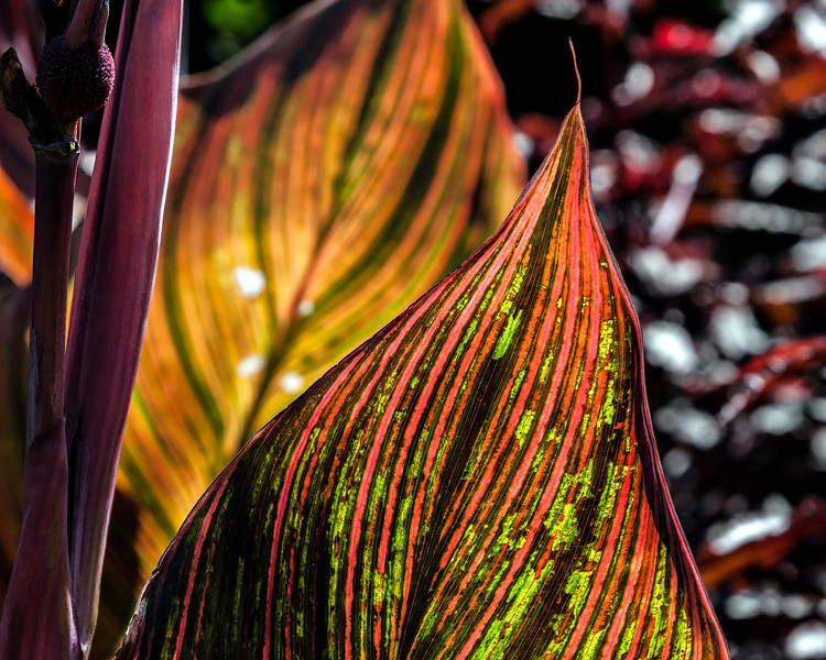 "Canna leaves can remind me of flickering flames.<br /> <br /> DP267-2013  Posted September 24; processed ditto<br /> <br /> Gazebo Garden, Hidden Lakes Gardens, Michigan<br /> September 18, 2013<br /> (This photo lives here:  <a href=""http://arctangent.smugmug.com/Dailies/2013-A-Year-in-Photography/27598278_kp7rBx"">http://arctangent.smugmug.com/Dailies/2013-A-Year-in-Photography/27598278_kp7rBx</a> )"