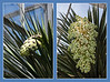 Hidden Wonders - Yucca Before and After