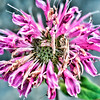 July 14 - Deteriorating Bee Balm