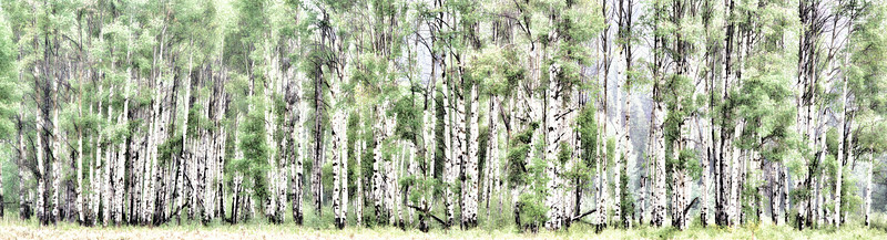 Sept 17 - Aspen Row<br /> <br /> I love Aspen trees and decided to take this image of a row of them - I would really like to capture them after the leaves turn yellow, but I was there when they hadn't turned yet.  We don't have them where I live.  I processed this image to make it more like a watercolor.<br /> <br /> Thanks for your comments on my little red barn on the hill image I posted yesterday!