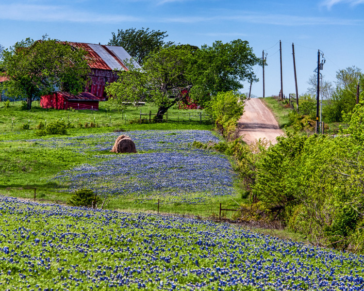 Texas Bluebonnets - 2014