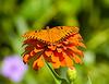 August 22, 2014  Orange on Orange,  Gulf Fritillary on Zinnia.