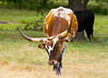 August 19, 2014 - my favorite shot of Bevette the Longhorn,  after hand feed her treats she was not too proud to ask for more.