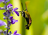 July 22, 2014  Snowberry Clearwing in our gardens