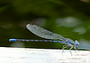 July 15, 2014  Damselfly perched by our water garden
