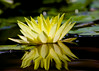 "July 24, 2014  ""Yellow Water Lily:""  in our pond."