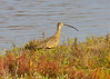 "November 22, 2013  ""Long Billed Curlew""  (Sandpiper) North America's largest shorebird, the Long-billed Curlew breeds in the grasslands of the Great Plains Captured at Padre Island National Seashore."