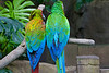 April 18, 2014  Parrots,  captured at Moody Gardens Rainforest  (Galveston TX) this week.