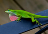 July 17, 2014  Green Anole - enjoying a pool side view while loping for a friend - 100 mm  Macro capture