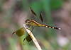 July 11, 2014  Reluctant Dragonfly -  this one did not like posing, would not sit in the sun,  and has defied my ability to identify it by species.  But I like the bokeh