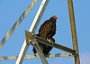 July 25, 2013  Turkey Vulture enjoying the sun