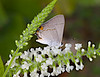 September 17, 2014  Little butterfly, little flowers,   Gray hairstreak on a sweet almond bloom