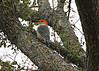 December 9, 2013 Red Bellied Woodpecker.