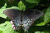 "August 1, 2014 ""Spicebush Swallowtail""  I have a hard time getting this species to pose quietly,  this pretty one was very cooperative."