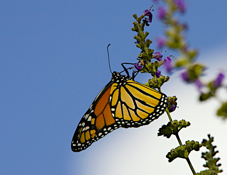 August 21,  2014  First fall Monarch,  I spotted this pretty butterfly in my yard late yesterday on our chaste tree.
