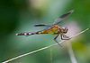 "July 19, 2014  ""Band-winged Dragonlet""   I have several of these small dragonfly around the flowers in the front yard."