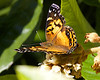 December 5, 2013 Painted Lady - this may be my yard's last butterfly of the year - a cold wind blows today :(