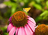 July 14, 2013  Skipper on Cone flower
