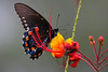 September 30, 2011Pipevine Swallowtail on Mexican Bird of Paradise - Phyllis spotting this butterfly and told me to get my camera and hunt it down.  I captured it underneath, shooting into a somber gray sky,