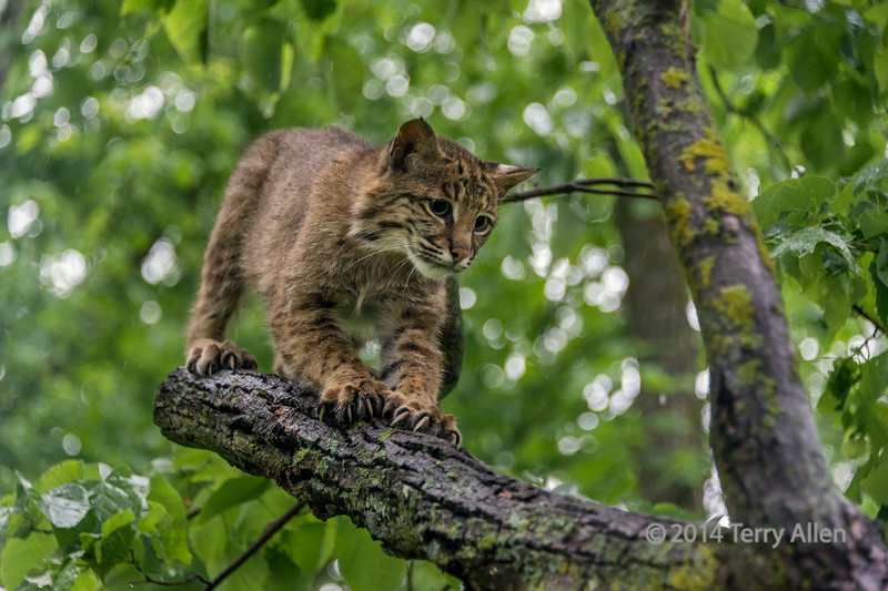 "Bobcat sharpening its claws on a tree branch<br /> <br /> I was surprised to see how cat-like bobcats (Lynx rufus) are.  They are about twice the size of a house cat, have a whiskered face, black-tufted ears, and stubby tails,  (the tail can seen in one of the other shots accessed from the link below)<br /> <br /> Several other shots of this photogenic bobcat can be seen here: <a href=""http://goo.gl/08IkDg"">http://goo.gl/08IkDg</a><br /> <br /> 02/08/14 allenfotowild.com"
