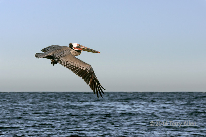 "Brown pelican (Pelicanus occidentalis) in breeding colours flying over the water, Isla Carmen, Sea of Cortez, Baja, Mexico<br /> <br /> Other photos of the Isla Carmen wildlife can be seen here: <a href=""http://goo.gl/L0GhNa"">http://goo.gl/L0GhNa</a>"