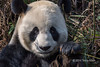 "Portrait of an adult Giant panda using a bamboo stalk as a tooth pick, Bifeng Xia, Sichuan, China<br /> <br /> Other panda photos can be seen here: <a href=""http://goo.gl/HP7g2q"">http://goo.gl/HP7g2q</a><br /> <br /> 27/05/14  <a href=""http://www.allenfotowild.com"">http://www.allenfotowild.com</a>"