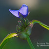 Sunshine Spiderwort