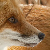 Big Red and Family (2010) - 1st Place.  View life from a fox's perspective.