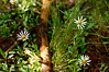 Asters on the forest floor