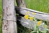 Sneezeweed and fence