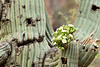 Blooming Saguaros in Peralta Canyon