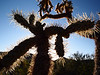 Backlit Cholla