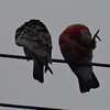 Two Galahs in Berry