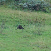 A wallaby in Kangaroo Valley