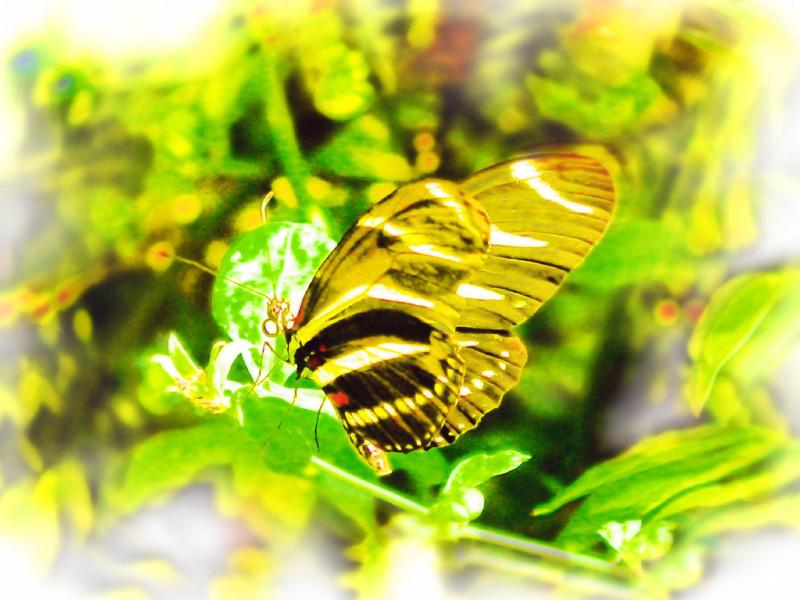 airbrush-zebra-longwing-bfly-stlz-DSC09300